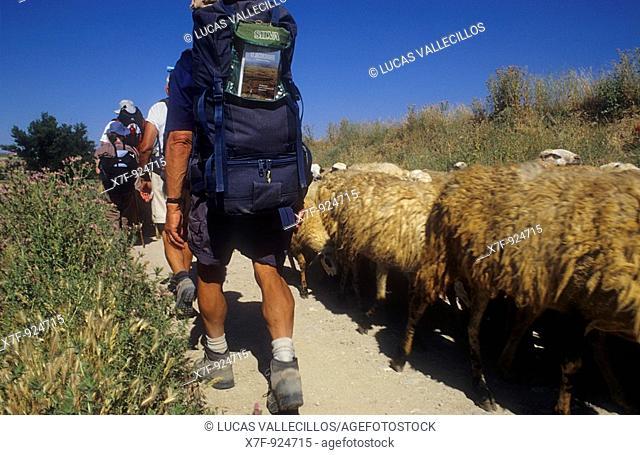 Pilgrims and Sheeps near Hornillos del Camino  Burgos province  Spain  Camino de Santiago