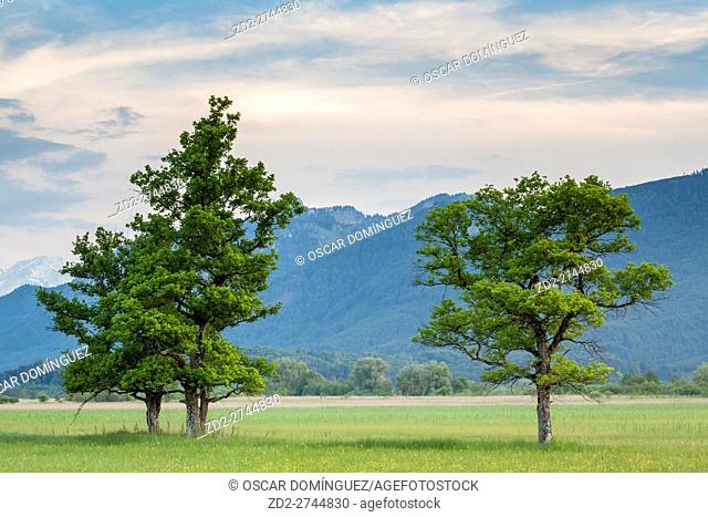 Trees on Murnauer Moos marshland, with the Alps in the background. Murnau am Staffelsee. Upper Bavaria. Germany