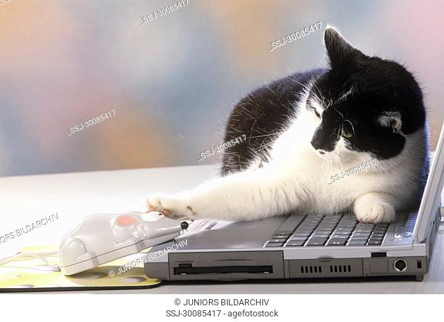 domestic cat - on computer
