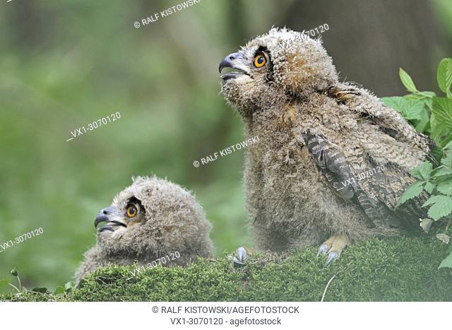 Northern Eagle Owls ( Bubo bubo ), cute young chicks, moulting, begging, sitting on moss, low point of view, funny, wildlife, Europe