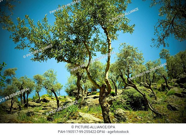 21 April 2019, Turkey, Didim: Olive trees in the Bafasee Nature Park, an inland lake on the west coast of Turkey created from a former estuary