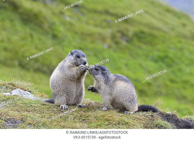 Alpine Marmot, Marmota marmota, two youngs, Hohe Tauern National park, Austria