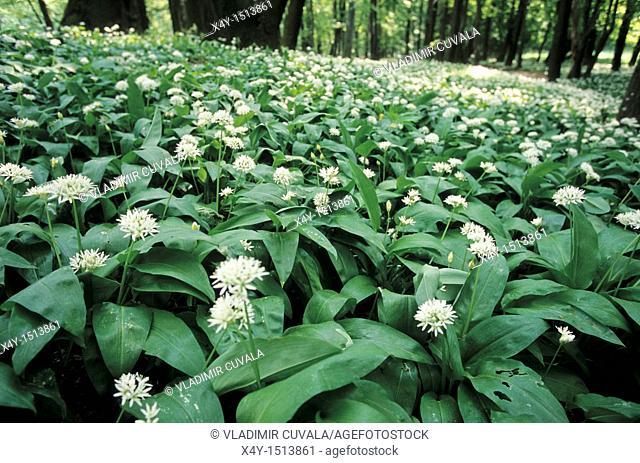 Every spring the flowers of Allium ursinum decorate the forest near Zaruby, Male Karpaty, Slovakia