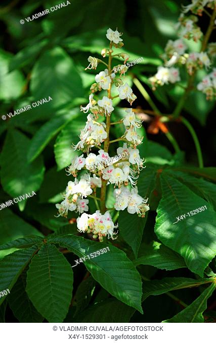 Horse chestnut tree Aesculus hippocastanum in bloom, Male Karpaty, Slovakia