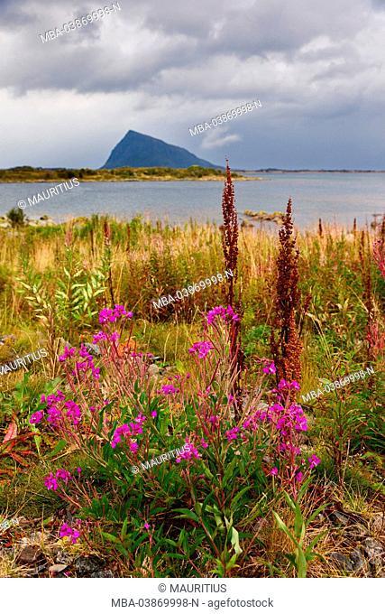 Wild flowers, lupins, Hoven, Gimsoya, Lofoten, Norway