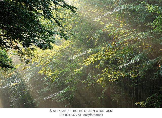 Sunbeams entering deciduous stand of Bialowieza Forest, Poland, Podlasie Province
