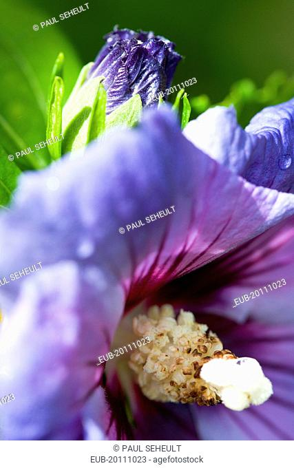 Rose mallow Hibiscus syriacus Blue Bird purple blue flower and bud growing on a shrub against a green background