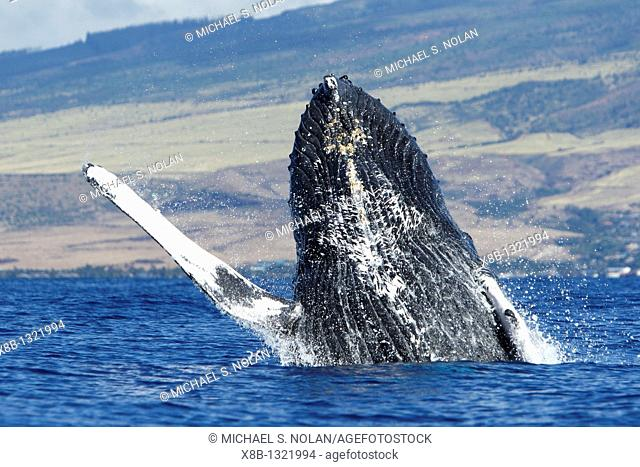 Adult humpback whale Megaptera novaeangliae breaching in the AuAu Channel, Maui, Hawaii, USA  Pacific Ocean