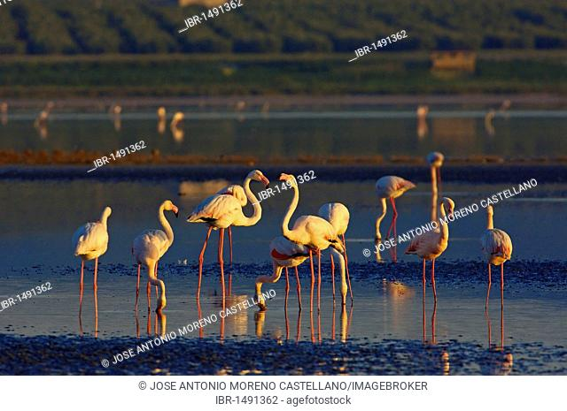 Greater Flamingos (Phoenicopterus ruber), Fuente de Piedra Lagoon, Málaga province, Andalusia, Spain, Europe