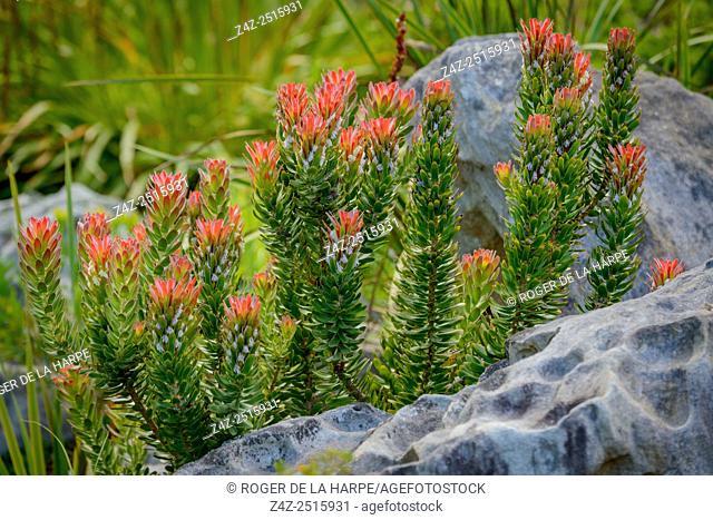 Rooistompie (Mimetes cucullatus). Kirstenbosch Gardens. Cape Town. Western Cape. South Africa