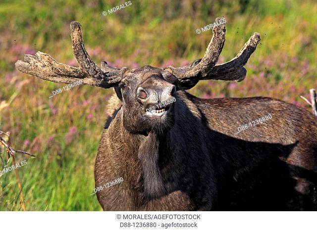 Moose  Male  Alces alces Ordre Artiodactyla Famille Cervidae