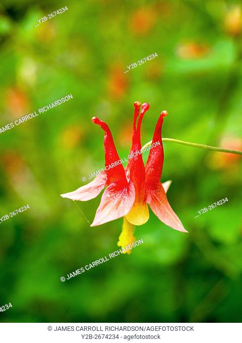 Red Columbne Aquilegia canadensis Texas Hill Country