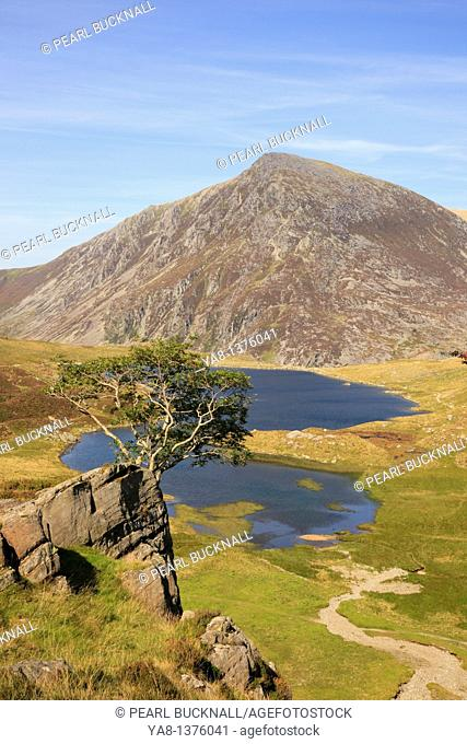 Ogwen, Gwynedd, North Wales, UK, Europe  Rowan tree on rocky outcrop above Llyn Idwal in Cwm Idwal National Nature Reserve with Pen Yr Ole Wen mountain beyond...