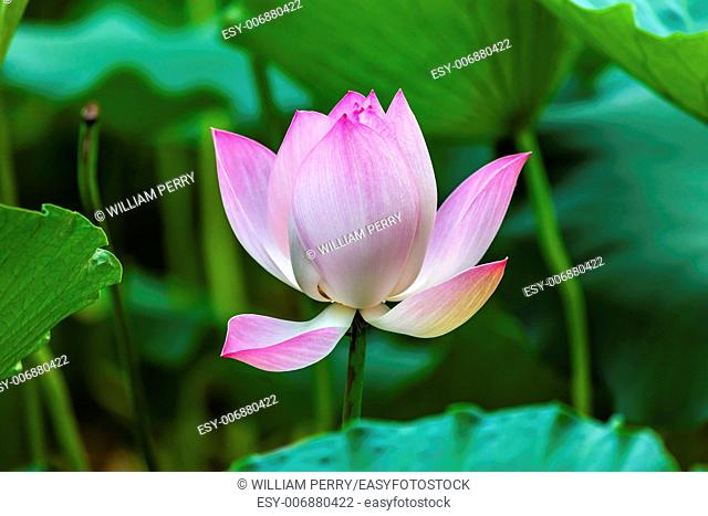 Pink Lotus Blooming Lily Pads Close Up Lotus Pond Temple of the Sun Beijing China