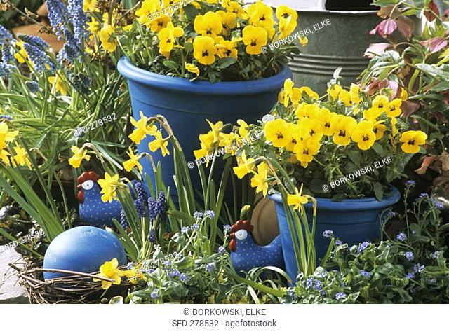 Yellow pansies in blue pots, narcissi, grape hyacinths