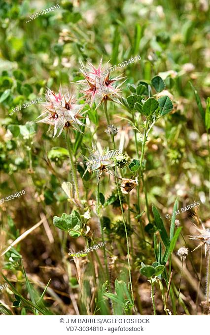 Starry clover (Trifolium stellatum) is an annual herb native to Mediterranean region, Canary Islands and western Asia. This photo was taken in Cabo Creus...