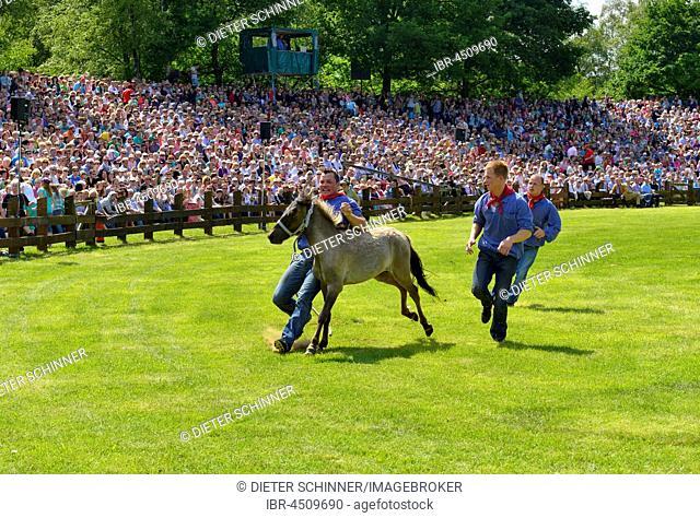 Yearling stallion being captured, Dülmen wild horses, traditional wild horse auction in Dülmen, Münsterland, North Rhine-Westphalia, Germany