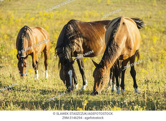 Horses grazing in South Downs National Park, East Sussex, England