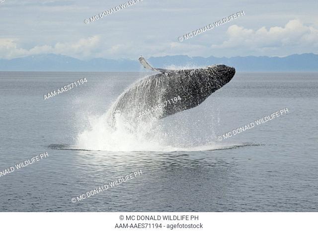 Humpback Whale (Megaptera novaeangliae) Breaching, in Frederick Sound, Alaska, USA