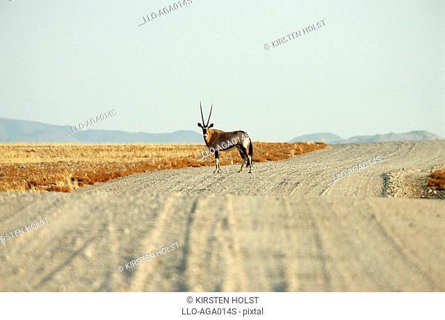 Lone Gemsbok Oryx gazella in Centre of Gravel Road  Ganab District, Namib District, Namibia, Southern Africa