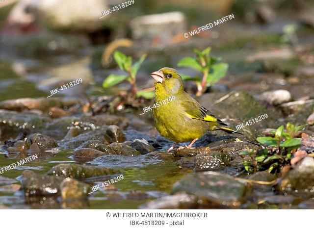 Greenfinch (Carduelis chloris) drinking at brook, Hesse, Germany