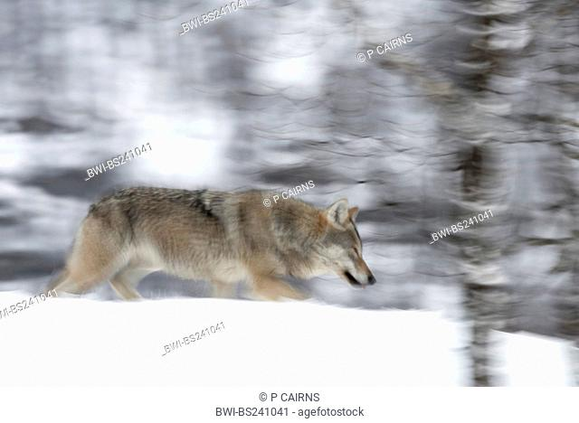 European gray wolf Canis lupus lupus, in snow-laden boreal birch forest, walking with motion blur , Norway, Bardu
