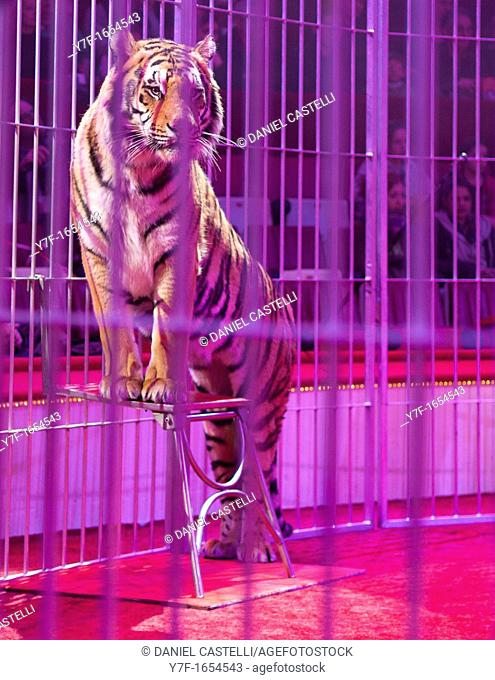 Tiger in a circus arena