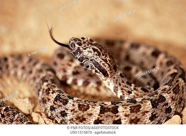 Young Jararaca, Botrops sp , Viperidae, Serpentes, Reptilia