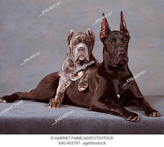 Great Dane and Neapolitan Mastiff