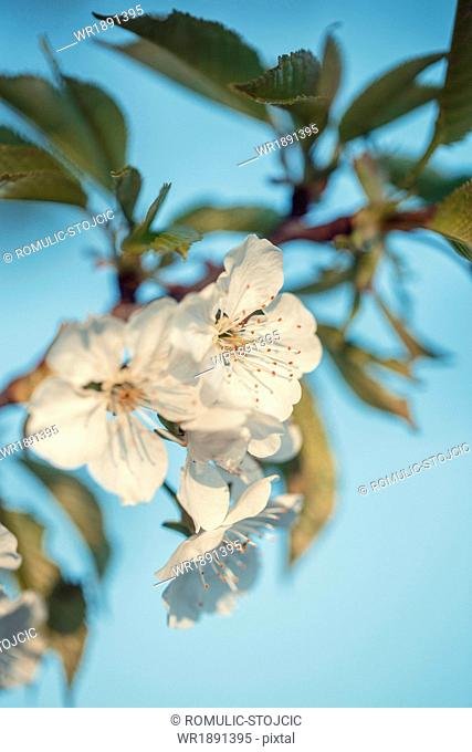 Apple blossoms with back light, close-up