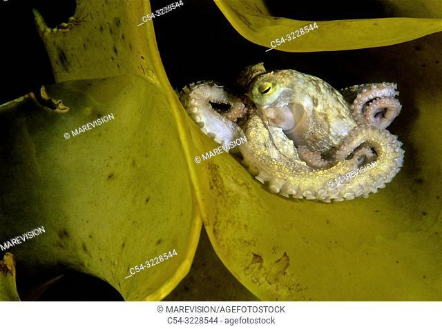 Juvenile common octopus (Octopus vulgaris) into a Brown seaweed. Kelp (Laminaria ochroleuca). Eastern Atlantic. Galicia. Spain. Europe