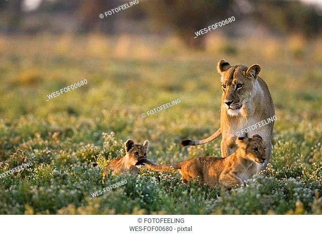 Africa, Botswana, Lioness Panthera leo with cubs