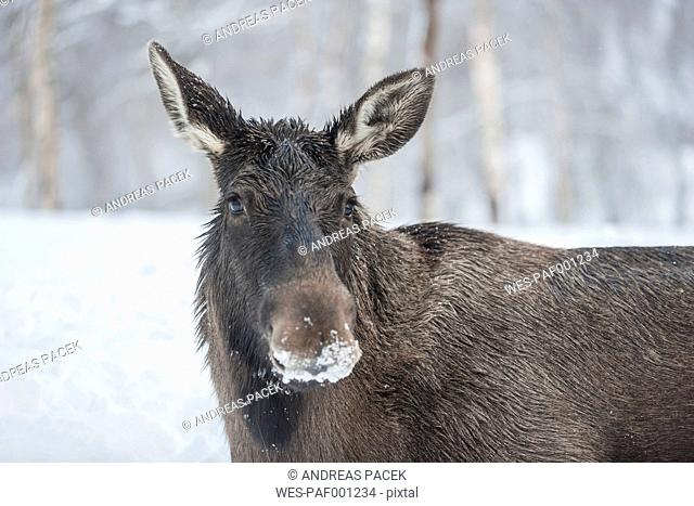 Norway, Bardu, portrait of elk with snow-covered snout