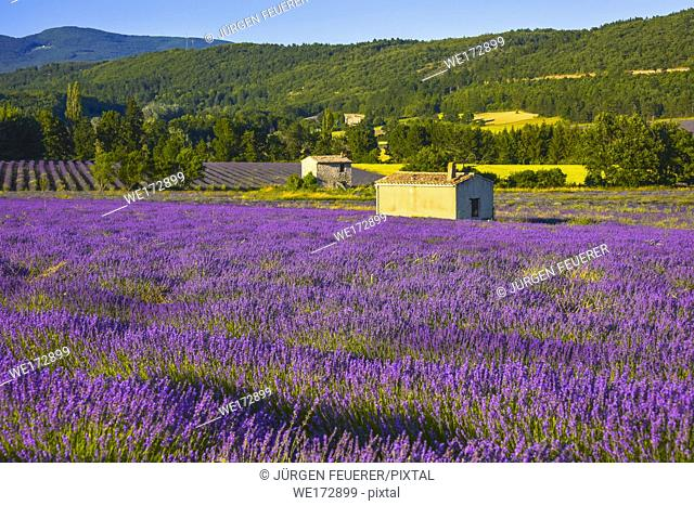 blossoming lavender field in soft evening light near Sault, Provence, France, panorama with hut at golden hour