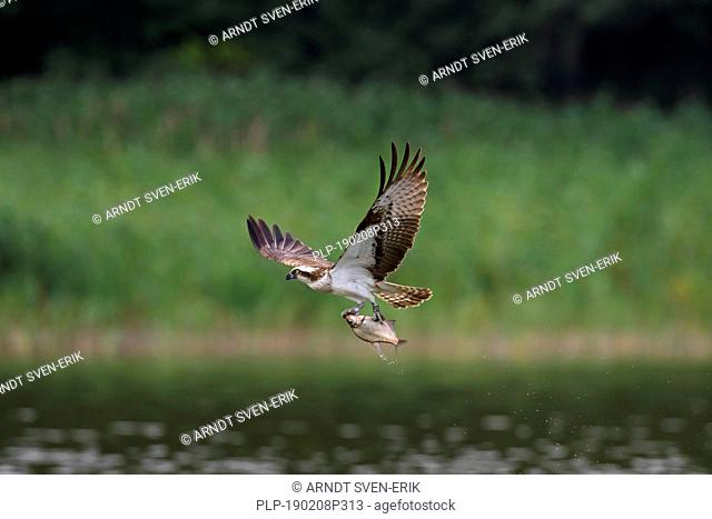 Ringed Western osprey (Pandion haliaetus) in flight with caught fish from lake in its talons
