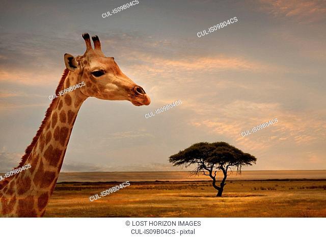 Giraffe at sunset, Etosha National Park, Namibia