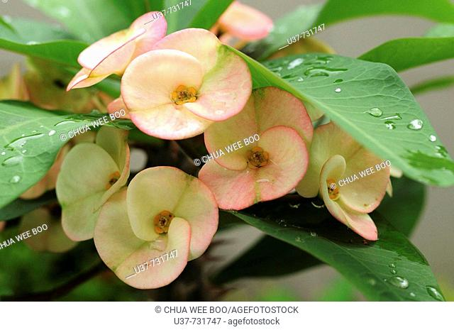 Euphorbia Millii Thai tropical plants