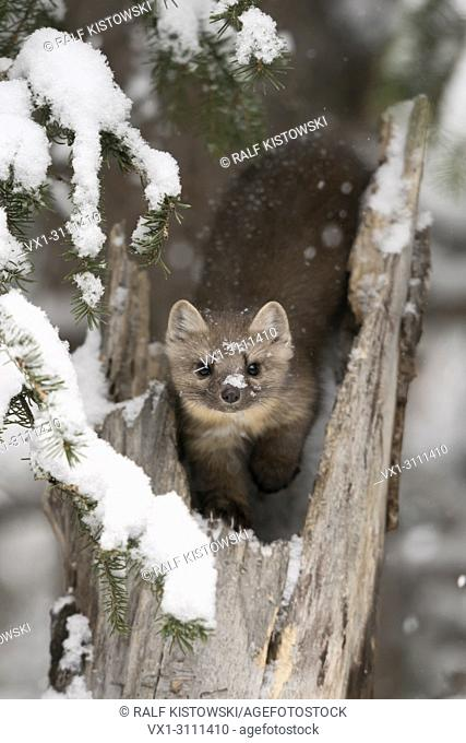 American Pine Marten / Baummarder / Fichtenmarder ( Martes americana ) in winter, sitting in a broken tree, watching attentively, eye contact, Yellowstone NP