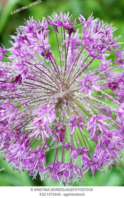 A purple Allium after the rain