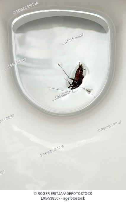 Oriental Cockroach (Blatta orientalis) accidentally drowned in a sanitary toilet, Spain