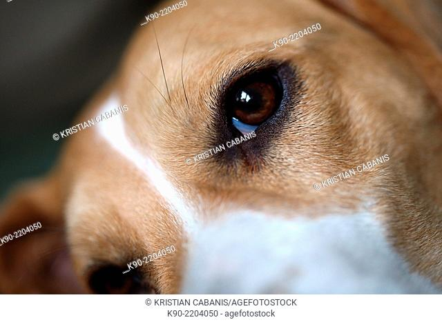 Close-up on the eye of a male tricolor Beagle, Berlin, Germany, Europe