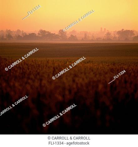 Mature Soybean Field, Belmont, Ontario