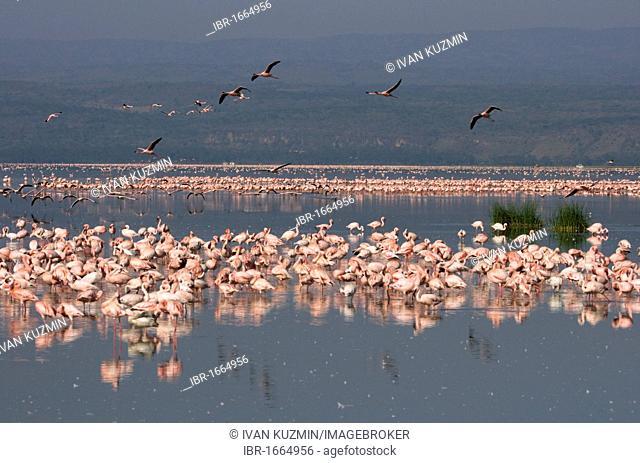 The Lesser Flamingo (Phoenicopterus minor), at early morning, Lake Nakuru National Park, Kenya, Africa