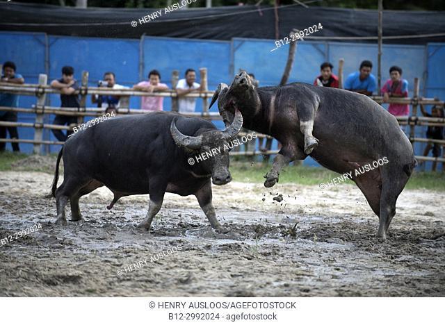 Thailand, fighting Buffalo (Bubalus bubalis), Fighting