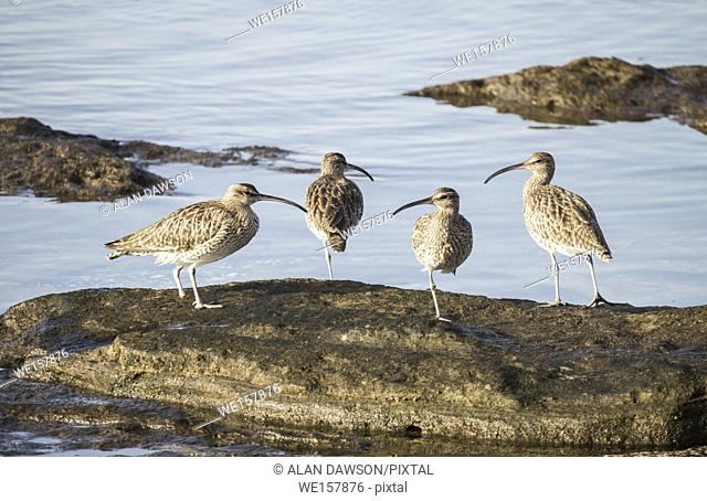 Whimbrel (Numenius phaeopus) on the north coast of Gran Canaria, Canary Islands, Spain