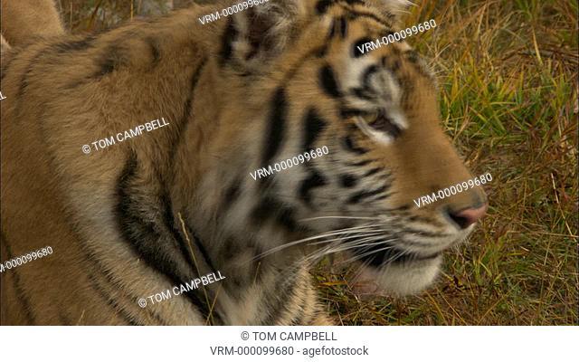 Siberian tiger Panthera tigris altaica portrait - captive animal. Northern Montana, USA