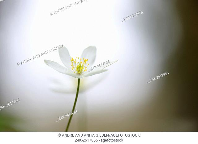 Wood Anemone (Anemone nemorosa) close-up with shallow depth of field and backlight, Haute Savoie, France