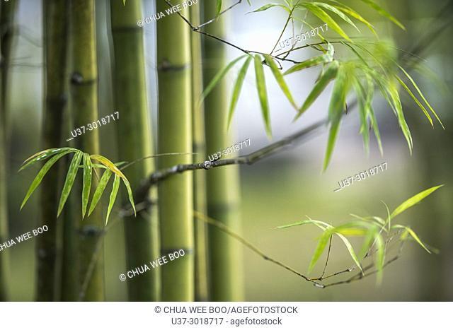 Bamboos. Image taken at Orchid Garden, Kuching, Sarawak, Malaysia
