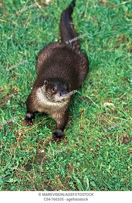 Freshwater Rivers Galicia Spain Otter Lutra lutra