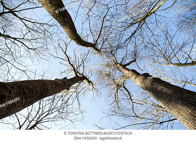 Group of Three Trees Seen From Below. Austria